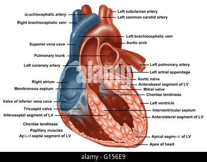anatomy of a normal human heart with everything labeled stock, Muscles