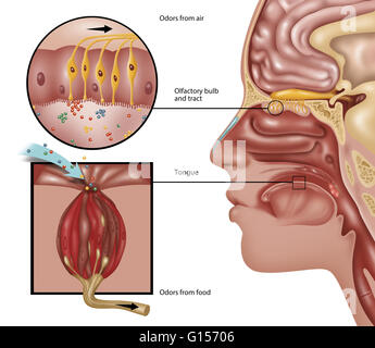 Illustration of the anatomy of smell. The perception of smell starts in the lining (mucosa) of the nose, where tiny - Stock Photo