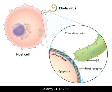 An Illustrated Diagram Of The Ebola Virus Replication Process The