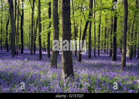 Bluebells in beech woodland in dappled sunlight - Stock Photo