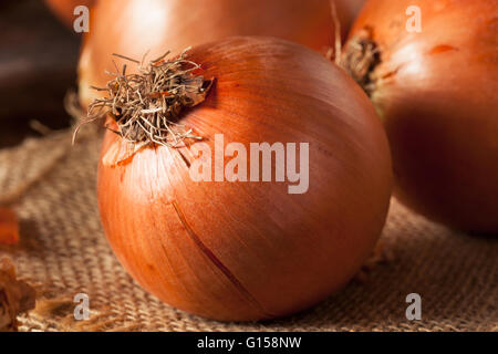 Raw Organic Yellow Onions Ready for Cooking - Stock Photo