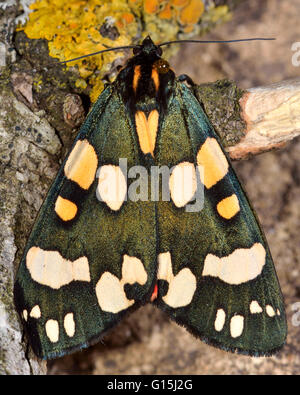 Scarlet tiger moth (Callimorpha dominula). Brightly colored British insect in the family Erebidae, previously Arctiidae, - Stock Photo