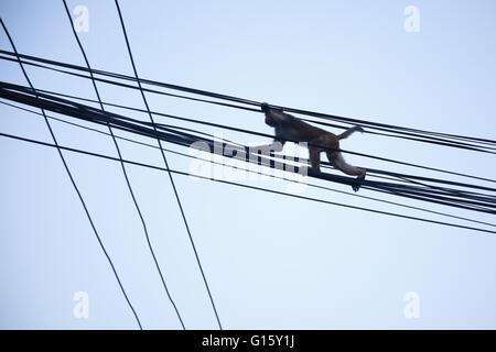 Kathmandu, Nepal. 9th May, 2016. A monkey clings on electricity ...