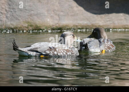 South American Flying steamer ducks (Tachyeres patachonicus) swimming. - Stock Photo