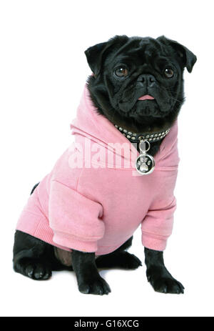 Small black pug puppy dog in pink clothes isolated on white background  Model Release: No.  Property Release: Yes - Stock Photo