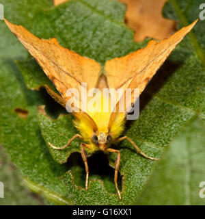 Canary-shouldered thorn moth (Ennomos alniaria). British insect in the family Geometridae, the geometer moths - Stock Photo