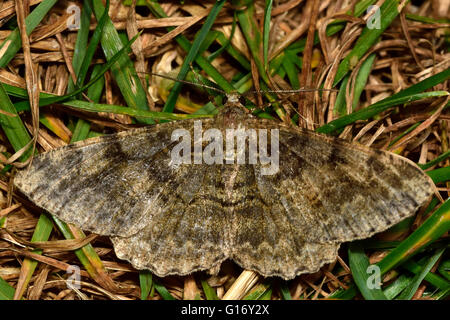 Mottled beauty moth (Alcis repandata). British insect in the family Geometridae, the geometer moths - Stock Photo
