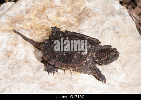 Common snapping turtle, Chelydra serpentina serpentina, three years old - Stock Photo