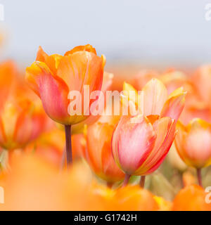 closeup of orange, red and yellow tulips between other tulips in flower field in the netherlands on square picture - Stock Photo