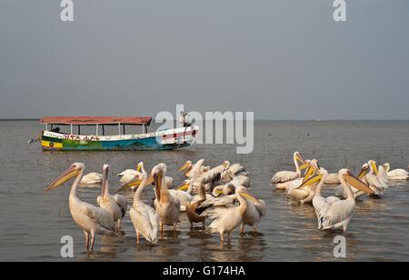 Pelicans + tourist boat. Lake Ziway ( Ethiopia) - Stock Photo