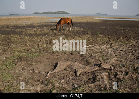 Carcass of a horse + horse grazing. In the background, lake Ziway ( Ethiopia) - Stock Photo
