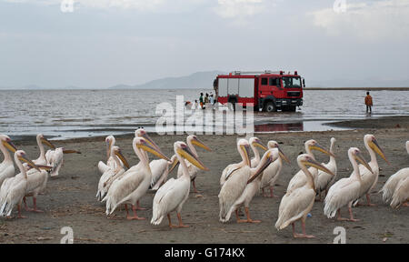 Pelicans + fire department truck in the background. Lake Ziway ( Ethiopia) - Stock Photo
