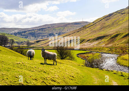 Sheep in Borrowdale (sometimes called 'the Westmorland Borrowdale') in the eastern Lake District - Stock Photo