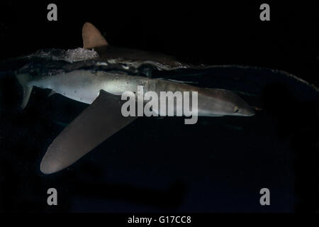 Silky shark on water surface in darkness, attracted to lights of boats, San Benedicto, Revillagigedo, Colima, Mexico - Stock Photo
