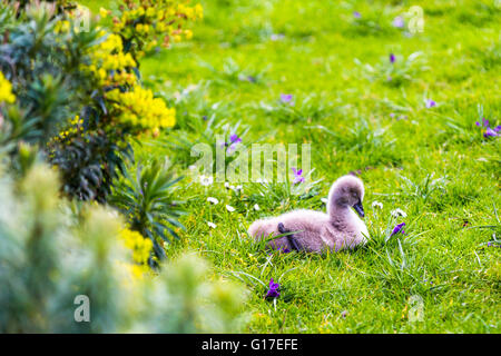 A baby swan signet duckling on green grass by  Dawlish Water (The Brook) in Dawlish, Devon, England - Stock Photo