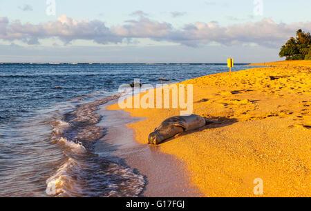 Hawaiian monk seal by Tunnels Beach - Stock Photo