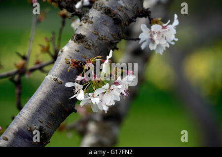A cluster of small white flowers stock photo 57889414 alamy prunus cv woodfield cluster white small flowered ornamental cherry tree flowers blossom bloom spring rm mightylinksfo