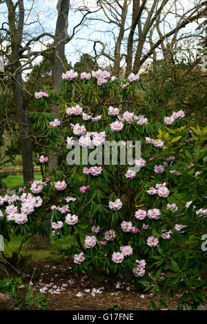 rhododendron sutchuenense spring pink flower flowers bloom blossom blossoms mature shrubs evergreens green foliage - Stock Photo