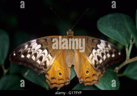 Australia, Cruiser Butterfly (Vindula arsinoe). - Stock Photo