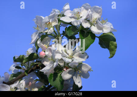 Blossom apple tree, twig apple in magnification - Stock Photo