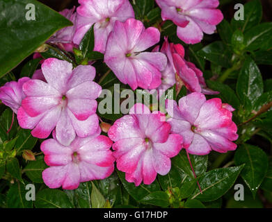 Cluster of colourful pink and white flowers and dark green leaves of New Guinea impatiens 'Harmony Radiance' - Stock Photo
