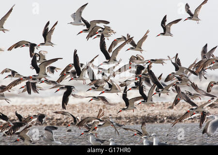 A flock of black skimmers (Rynchops niger) fly at at Cameron Jetty Pier Facility, Cameron, Cameron Parish, LA. - Stock Photo