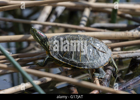 Juvenile Red-eared Slider, (Trachemys scripta elegans), Wildlife Management Ponds at Tingley Beach, Albuquerque, - Stock Photo