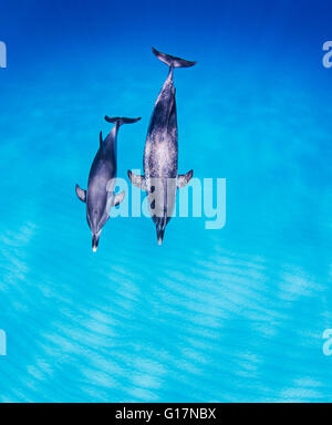 Mother daughter pair of Atlantic Spotted Dolphins - Stock Photo