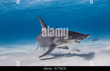 Great Hammerhead Shark swimming near seabed - Stock Photo