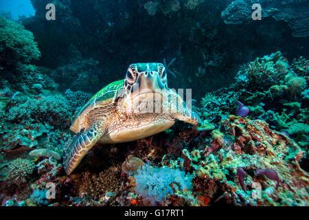 Rare green sea turtle (Chelonia Mydas), swimming in open ocean,, Cebu, Philippines - Stock Photo