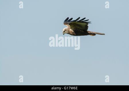 Western marsh harrier (Circus aeruginosus) in flight - Stock Photo
