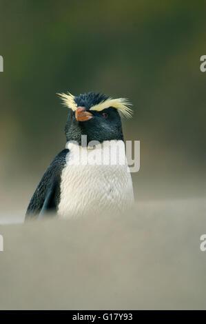Fiordland crested penguin (Eudyptes pachyrhynchus)  New Zealand, Westland, South Island,  walking on the beach. - Stock Photo