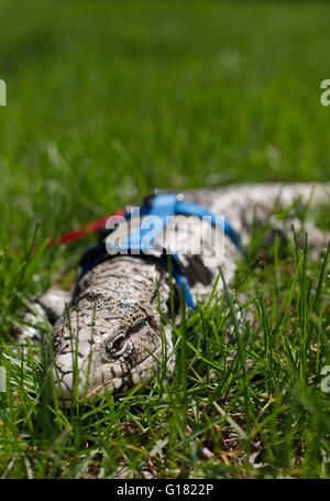 An Argentine black and white tegu ing a harness and a leash ...