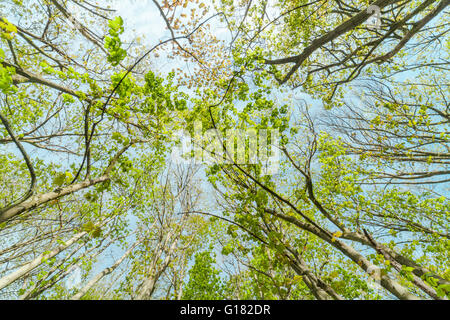 Fresh Green Spring Tree Branches on Blue Sky Background - Stock Photo