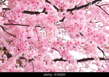 Spring Cherry blossoms in Tokyo, Japan - Stock Photo