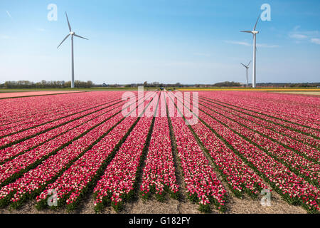 Tulips with wind turbines in The Netherlands. Tulip fields with mixed red and white tulips with three windmills. - Stock Photo
