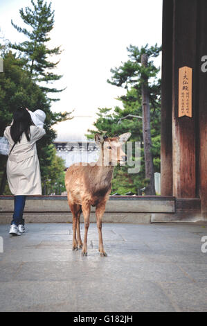 Deer outside Todaiji temple in Nara Japan - Stock Photo