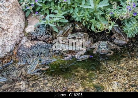 Lowland Leopard Frog, (Lithobates yavapaiensis), Arizona - Stock Photo