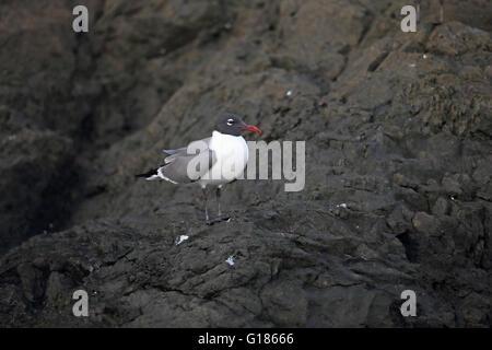 Laughing Gull (Larus atricilla) - Stock Photo