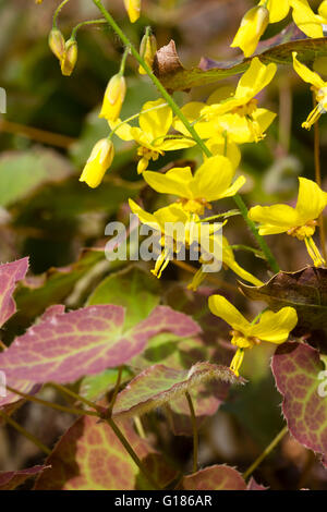 Yellow spring flowers in the spike of the evergreen barrenwort, Epimedium × perralchicum 'Frohnleiten' - Stock Photo