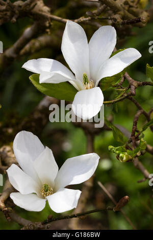 White flowers of the compact small, spring flowering tree, Magnolia x loebneri 'Merrill' - Stock Photo