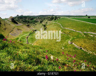 View down Cressbrook Dale dry stone walls Peak District Derbyshire England UK covered with early purple orchids - Stock Photo