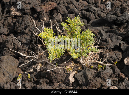 Zygophyllum fontanesii (uvilla de mar, sea grape), a very salt-tolerant plant which grows close to the sea in the - Stock Photo