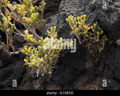 Zygophyllum fontanesii (uvilla de mar, sea grape), a very salt-tolerant plant which grows close to the sea in the - Stock Photo
