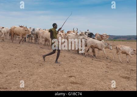 Nyangatom (Bumi) herdsman leading a cow herd, Omo River Valley, Ethiopia - Stock Photo