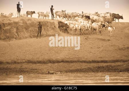 Nyangatom (Bumi) herdsmen leading a cow herd, Omo River Valley, Ethiopia - Stock Photo