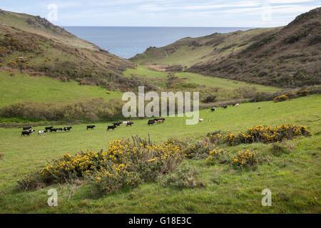 Cows and Sheep near Soar Mill Cove, Devon, England. - Stock Photo
