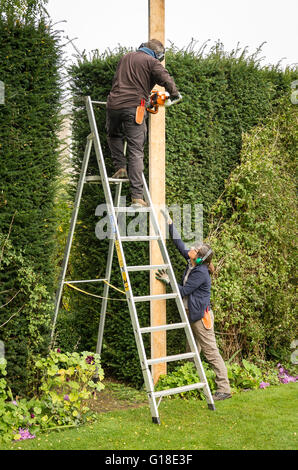 Two gardeners engaged in trimming a tall yew hedge with the aid of a straight edge - Stock Photo