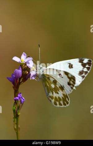 Eastern Dappled White, Euchloe ausonia - Stock Photo
