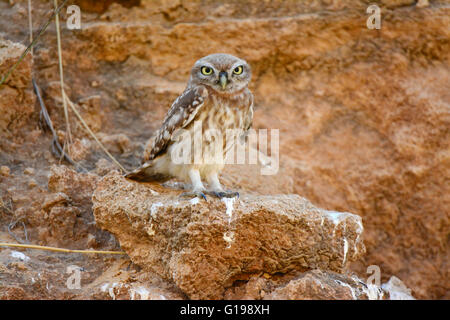 Little owl camouflage colors - Stock Photo